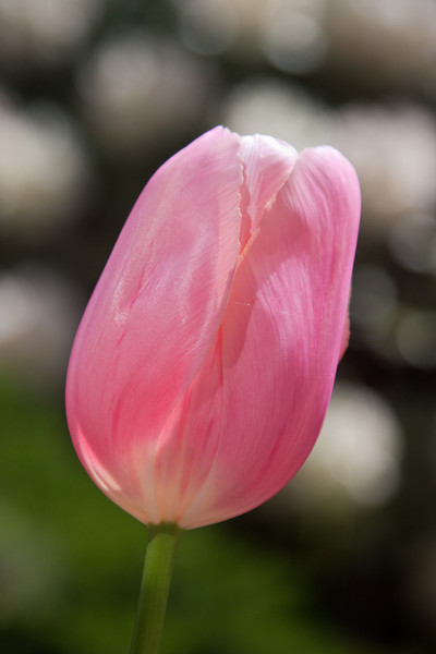 A tulip from my back yard