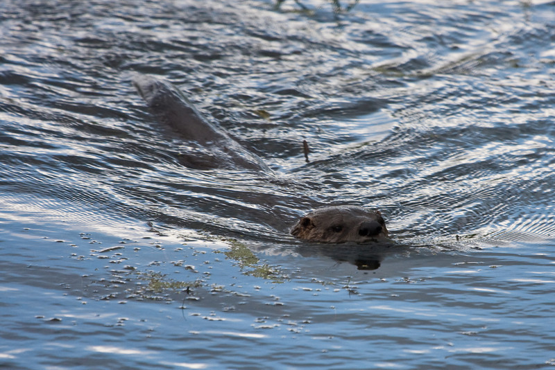 "A river otter at <a href=""http://www.fws.gov/ridgefieldrefuges/ridgefield/index.html"">Ridgefield National Wildlife Refuge</a>"
