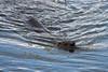 "A river otter at <a href=""http://www.fws.gov/ridgefieldrefuges/ridgefield/index.html"">Ridgefield National Wildlife Refuge</a>"