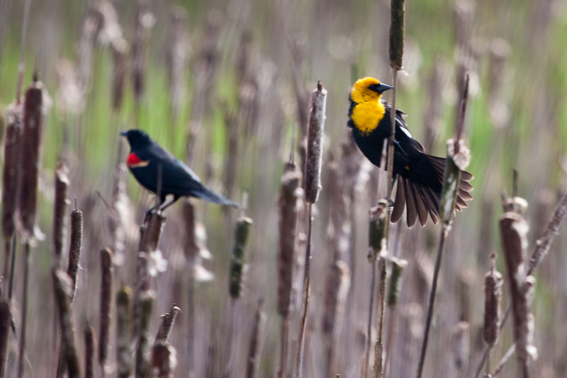 "A yellow-headed blackbird, shot at <a href=""http://www.fws.gov/ridgefieldrefuges/ridgefield/index.html"">Ridgefield National Wildlife Refuge</a>"
