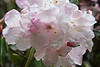 Another of my Rhodies