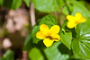 Viola glabella, aka Smooth yellow violet, pioneer violet, and stream violet