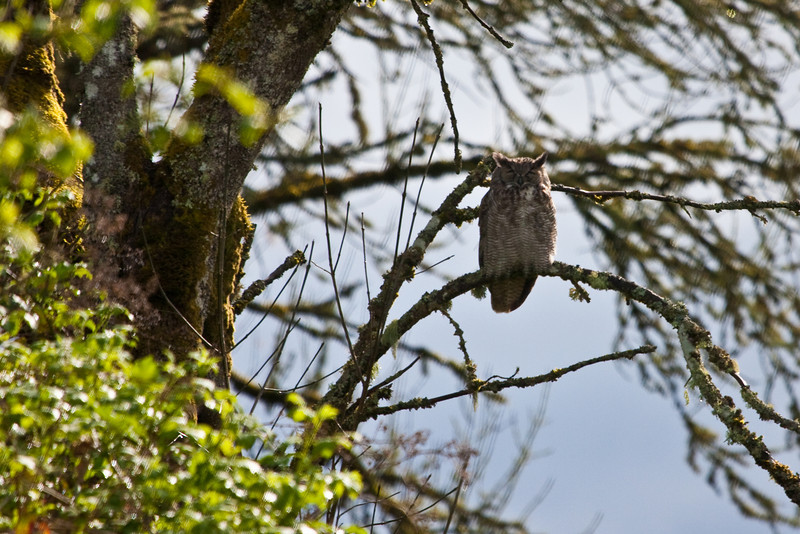 "An owl at <a href=""http://www.fws.gov/ridgefieldrefuges/ridgefield/index.html"">Ridgefield National Wildlife Refuge</a>"