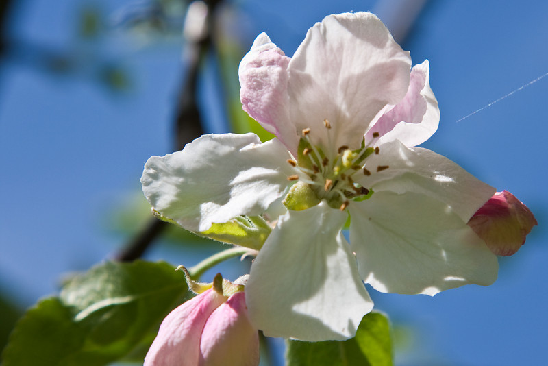 An apple blossom from the tree in my yard