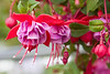 Fuchsias are among my favorite flowers. I can even spell it! LOL
