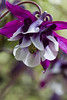 Columbine at Elk Rock Gardens in Portland. More great color