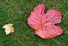 I liked the way these grape and maple leaves arranged themselves on my lawn.