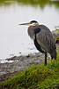 "A Great Blue Heron at <a href=""http://www.fws.gov/ridgefieldrefuges/complex/"">Ridgefield Wildlife Refuge</a>."