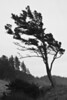 This pine at Ecola State Park in Cannon Beach just asked to be shown in black and white.