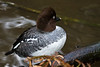 A Common Goldeneye at the Oregon Zoo.