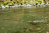 If you view this at a larger size you can see a few Coho Salmon in Eagle Creek.