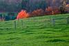 A flaming maple near Montrose, Pennsylvania