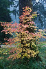 A vine maple in full fall color at Silver Falls State Park