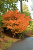 A maple in color at Pittock Mansion in Portland