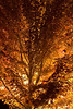 A local maple lit by a streetlight after dark