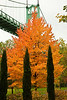The St Johns Bridge and a maple in full fall color.