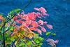A colorful Vine Maple at Lost Lake, Oregon