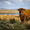 Highland Cattle - Isle of Lewis