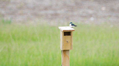 Tree Swallow, 2021-05-16