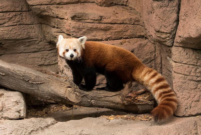 Red Panda-Zoo