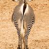 Gravy Zebra-Zoo