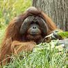 Orangatan-Denver Zoo