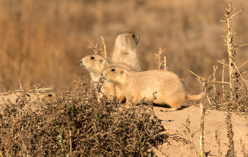Prairie Dogs-Arsenal Range