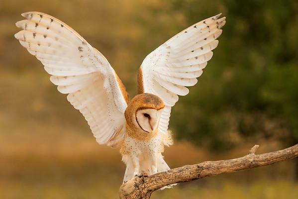 Barn Owl-Captive
