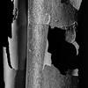 Paper Bark Maple Tree
