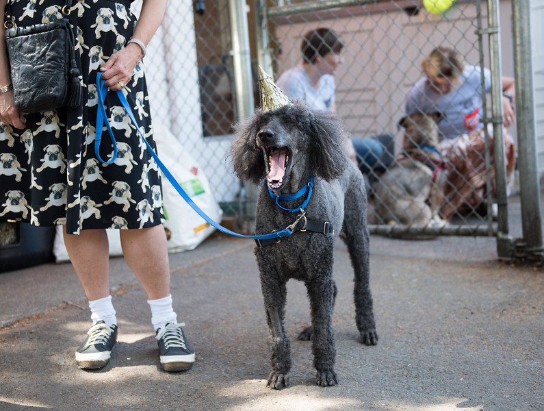 Bella the poodle, with her party hat, getting ready to move into the new facility