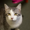 #8 - Ben - surrendered by owner, fell ill with URI - a death sentence for kitties at other shelters, benefited from foster care and was adopted