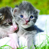 #11 - Misty & Silverlight - abandoned at a few days old and nursed back to health in foster care