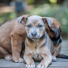 #5 - Blossom & Bruce 2 -  abanoned at another shelter and transferred to safety at Seattle Humane. Benefitted from foster care with siblings until they were old enough to be adopted.