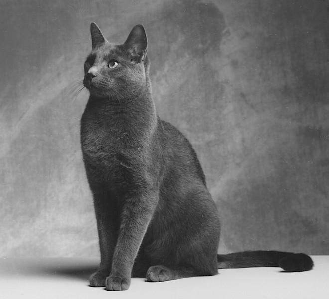 Pushkin. The Russian Blue studio cat at 482 Kings Road