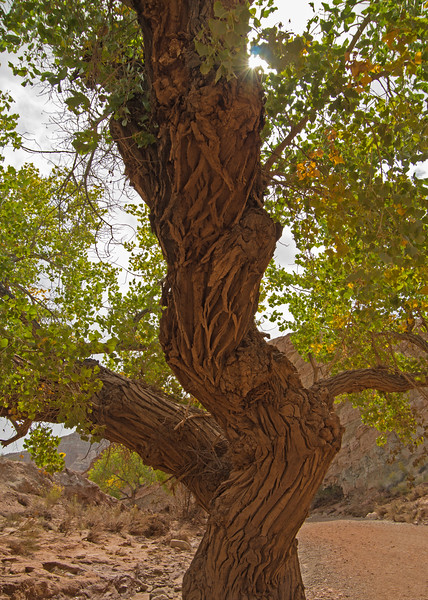 An ancient cottonwood has survived yet another flash flood, in the wash leading to the Little Wildhorse-Bell Canyon hike.