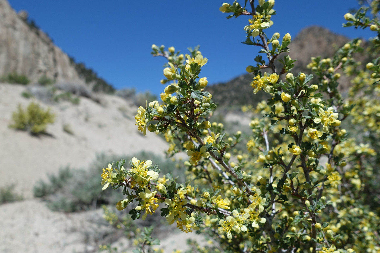 Blooming creosote