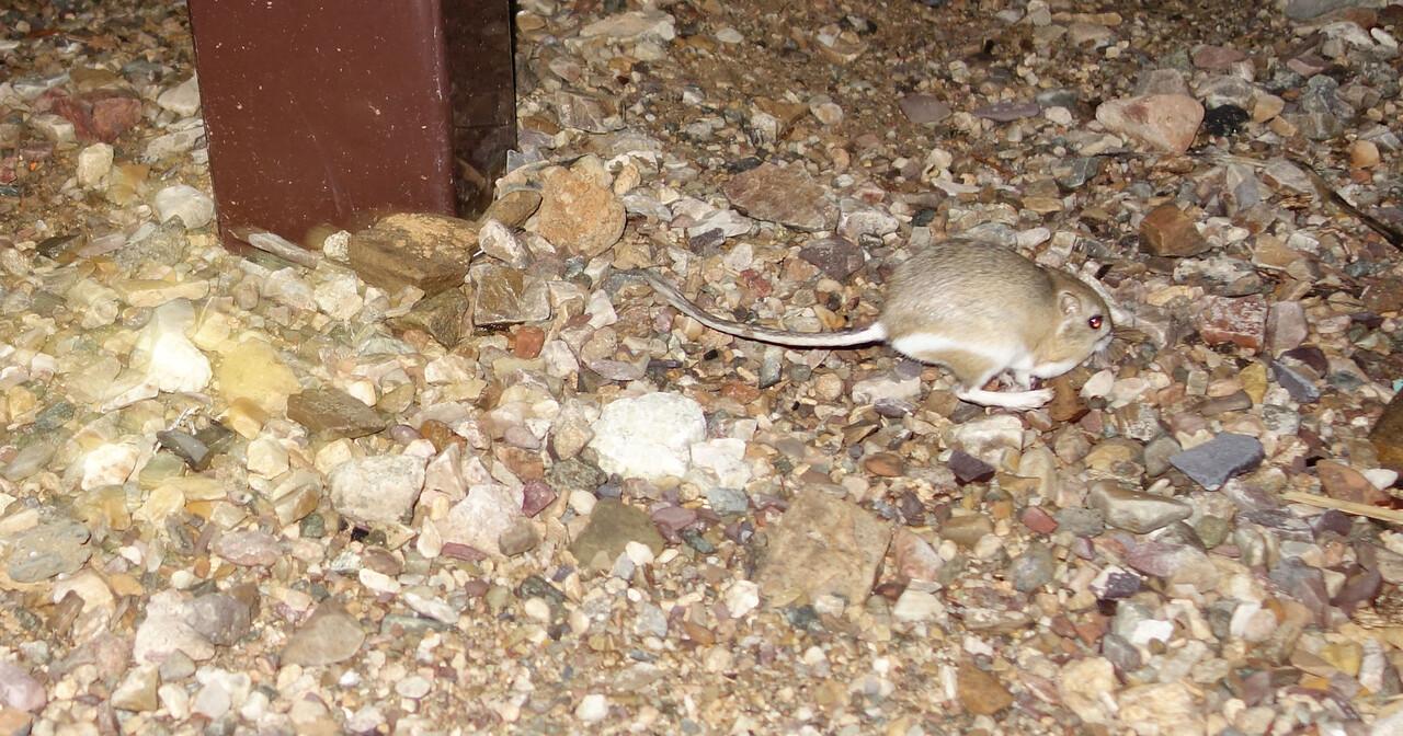 Kangaroo rat at Horse Thief Camp