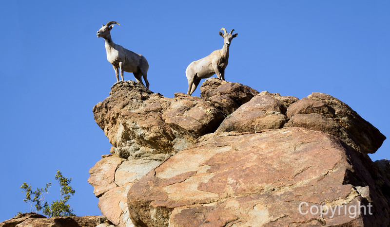 Bighorns on the Lookout