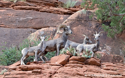 Desert Bighorn Sheep Family