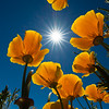 Poppies and Sunstar - Between Why & Tucson, Arizona - Mark Gromko - March 2016