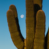 Moonrise through Saguaro - Organ Pipe National Monument, Arizona - Nancy Varga - March 2016