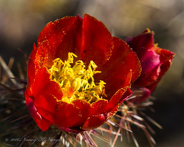 Cholla Blossom - Organ Pipe National Monument, Arizona - Nancy Varga - March 2016