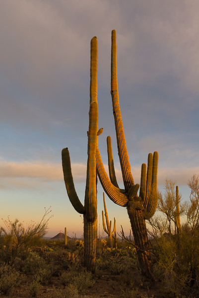 Saguaro Sunset - Organ Pipe Cactus National Park, Arizona - Mark Gromko - March 2016