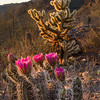 Strawberry Hedgehog Cactus Bloom - Gates Pass, Tucson Mountain Park, Arizona - Mark Gromko - March 2016