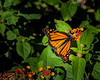 Monarch in the enclosure