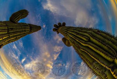 Skyward Saguaros, Superstition Mtns, Az