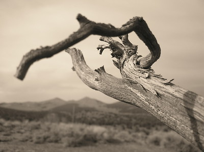 Twisted juniper, desert plant, black and white, sepia, abstract