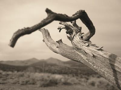 Twisted juniper, desert plant