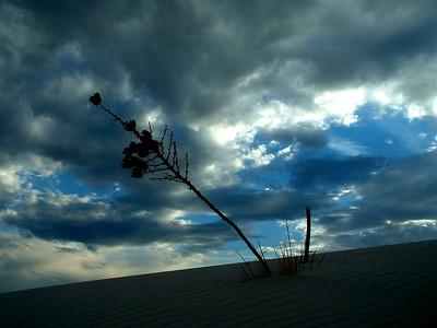 Yucca White Sands, desert plant