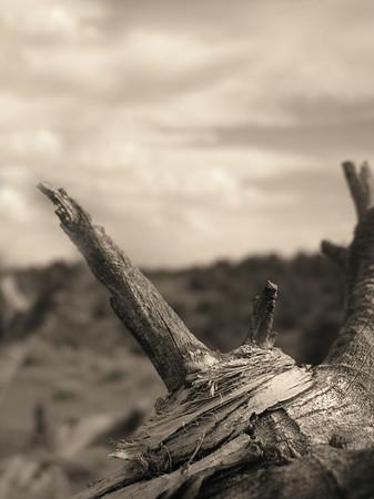 Twisted juniper